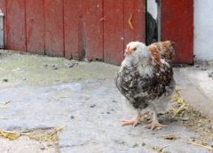 Hönan – fullfjädrat husdjur med egen dag